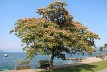 Blooming Albizia Julibrissin Tree In Stresa At Lake Maggiore, Italy
