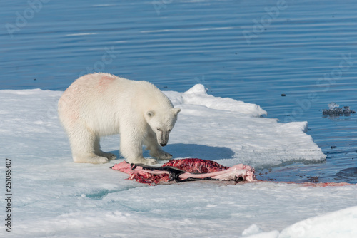 In de dag Ijsbeer Two wild polar bears eating killed seal on the pack ice north of Spitsbergen Island, Svalbard