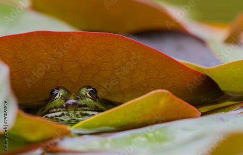 Green frog hiding under water lily leaf Canvas Print