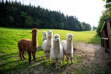 Alpacas Llamas Lamas In Wales, UK