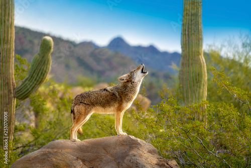 Photo Howling Coyote standing on Rock with Saguaro Cacti