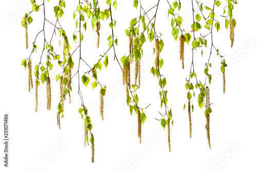 Birch twigs with catkins on a white background - 251071486