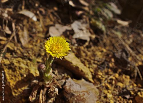 Fotografie, Tablou Close up of a coltsfoot (Tussilago farfara) flower