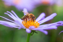 Purple Flower Aster Alpinus Or Alpine Aster Purple Or Lilac Flower With A Bee Collecting Pollen Or Nectar.