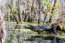 Alligator Sunning