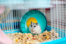 Funny White Hamster In A Cage In A Turquoise Bright Wheel, Sawdust On The Floor