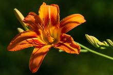 Orange Daylily Close Up With B...