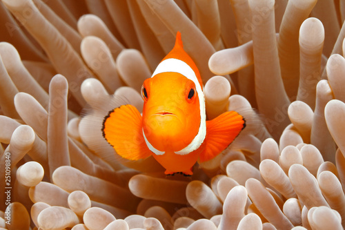 Fotografía  Clown Anemonefish, Amphiprion percula