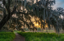 Sunrise Through A Mossy Tree In Florida