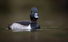 Ring Necked Duck In Canada