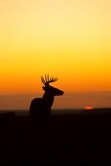 Whitetail Buck Sunrise