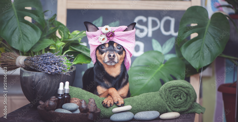 Fototapeta Cute pet relaxing in spa wellness . Dog in a turban of a towel among the spa care items and plants. Funny concept grooming, washing and caring for animals