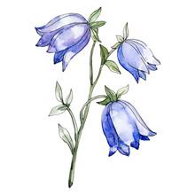 Blue Campanula Floral Botanical Flower. Watercolor Background Illustration Set. Isolated Flowers Illustration Element.