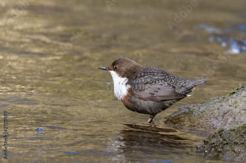 dipper sitting on a stone Poster Mural XXL