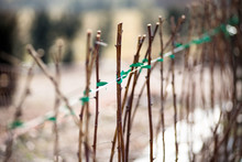 Raspberry Canes Cultivation In Winter