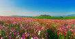 Leinwandbild Motiv Landscape nature background of beautiful cosmos flower field