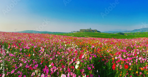 Poster Universe Landscape nature background of beautiful cosmos flower field