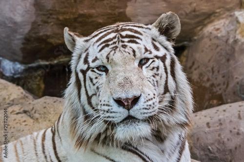 Obraz na plátně White albino tiger in a zoo