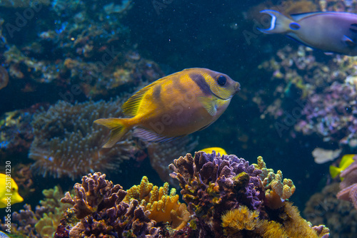 Fotografie, Obraz  Yellow fish in swimming on a coral reef