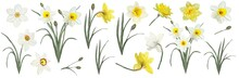 The Flowers Are Daffodils. Watercolor Illustration . Botanical Collection. Set: Leaves, Flowers Daffodils White And Yellow, Buds.
