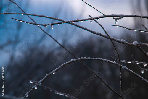 Fotografie, Obraz  branches with drops and snow
