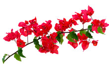Branch Of Bougainvillea Isolated On White Background. Tropical Red Flower.