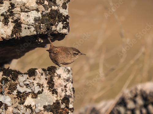 Fotografie, Obraz  Eurasian wren (Troglodytes troglodytes), isolated on the stone