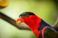 Black Capped Lory On Tree Branch