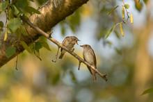 Feeding Spotted Flycatcher