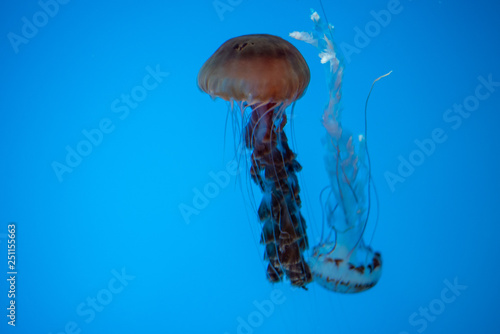 Fotografie, Obraz  Jellyfish swimming in the open sea
