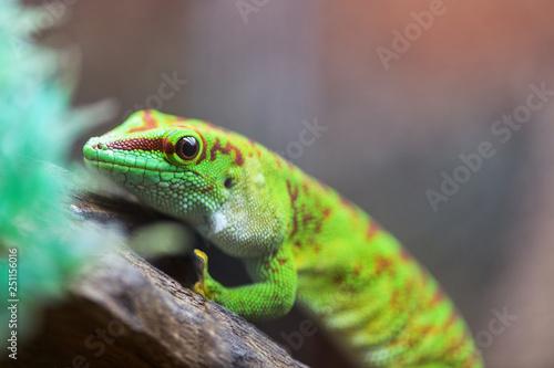 Poster Chamaleon Portrait Madagaskar Taggecko. Phelsuma grandis. Felsuma Madagascar or day Gecko poisonous green sits on a tree branch in a terrarium in a pet store