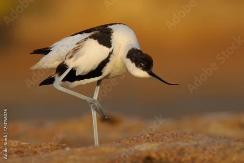 Common Avocet - Recurvirostra avosetta - Alfaiate - bird фототапет