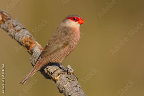 Photo  Common waxbill - Estrilda astrild - Bico de lacre - bird