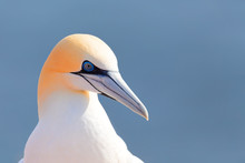 Northern Gannet, Sula Bassana, Detail Head Portrait Of Beautiful Sea Bird, Sitting On The Rock With Blue Sea Water In The Background, Helgoland Island, Germany