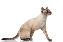 Curious Burmese Cat Steps And Looks To Side