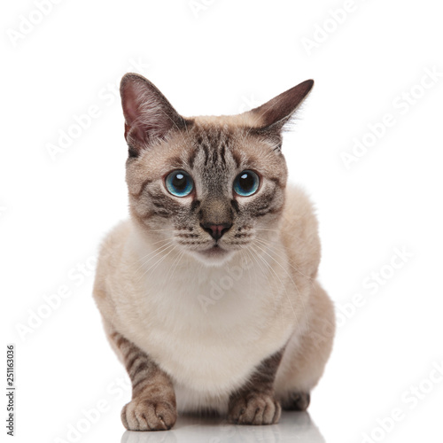 adorable burmese cat with blue eyes looks to side