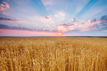 Wheat Ears And Rays Of Beautiful Sundown And Clouds Painted In Beautiful Sunset Colors
