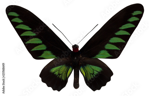 Photo  Butterfly Trogonoptera broockiana isolated  on white background