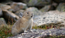 A Pika At Home In Rocky Mountain National Park, Colorado