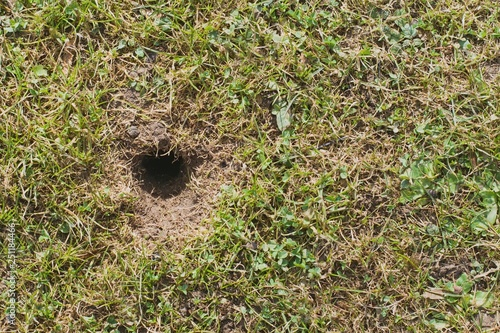 Cuadros en Lienzo  Mouse or vole hole in the spring  lawn, lawn cultivation problem