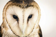 owl face in high resolution