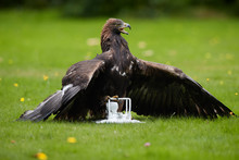 Falconry Training For Airfield...