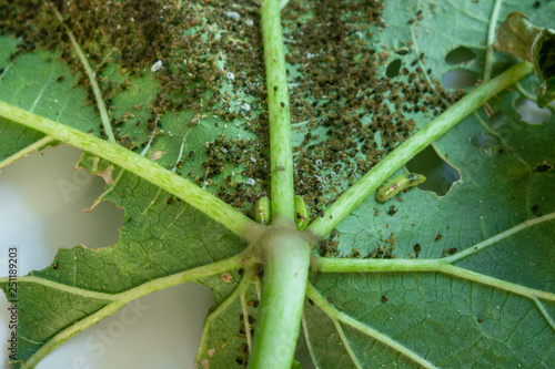 Photo Pests, Cotton Aphid, Cotton Bollworm, Pseudococcidae and Thrips palmi karny on a