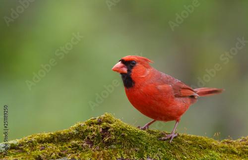 Slika na platnu Northern Cardinal against a natural forest background
