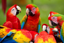 Group Of Wild Ara Parrots, Ara...