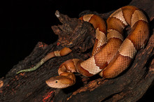 Copperhead, Snake- Agkistrodon Contortrix, A North American Venomous Snake