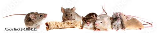 Fotografie, Obraz a mouse eating bread isolated on a white background