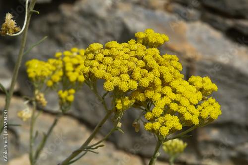 Photo fioritura di Elicriso (Helicrisum italicum) ,primo piano fiori gialli