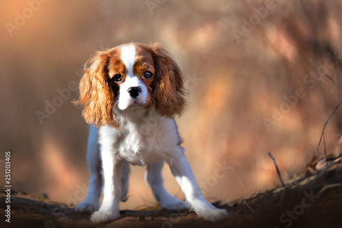 Photographie Cavalier King Charles Welpe Outdoor
