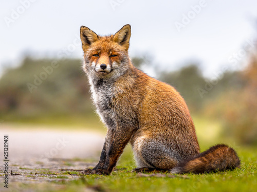 Foto auf Leinwand Luchs Fox sitting in grass